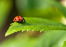 7 Spot Red Ladybird Stock Photos