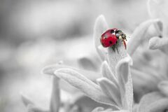 7 Spotted Ladybug on Leaf in Selective Color Photography Stock Photography