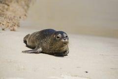 7 szczeniaka portów seal Zdjęcie Stock