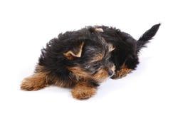 7 terrierveckor yorkshire Fotografering för Bildbyråer