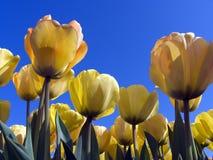 7 tulipan pola Zdjęcia Stock