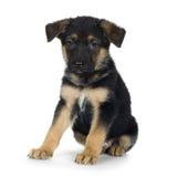 7 veckor för herde för polis för schäferhund tyska Arkivbilder