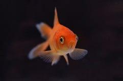 7 złotą rybkę Fotografia Royalty Free