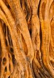 700 παλαιά έτη ελιών Στοκ φωτογραφία με δικαίωμα ελεύθερης χρήσης