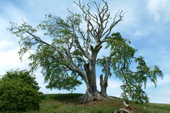 700 Year Old Scottish Beech Tree. 700 year old Beech tree at Edzell Castle, Scotland Stock Image