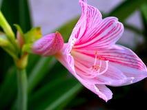 71朵花粉红色 免版税库存图片