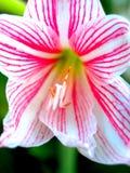 72朵花粉红色 图库摄影
