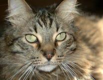 7283只猫灰色平纹 库存图片