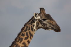 7436 żyrafa Obrazy Stock
