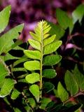77 gröna leaves Fotografering för Bildbyråer