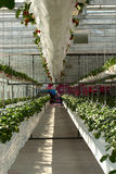 7th internationella jordgubbesymposium Royaltyfri Fotografi