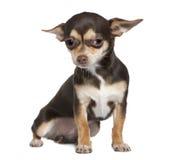8个奇瓦瓦狗月坐 免版税库存图片