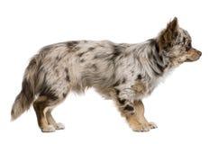 8个奇瓦瓦狗月小狗侧视图 库存照片