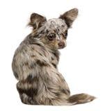 8个奇瓦瓦狗月小狗后方坐的查阅 免版税库存照片