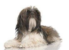 8个月小狗shih tzu 免版税图库摄影