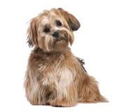 8个月小狗shih tzu 免版税库存照片