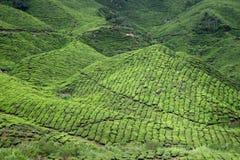8个种植园茶 库存图片