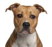 8个美国月斯塔福郡狗 免版税库存图片