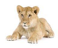 8个崽狮子月 库存照片