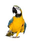 8个ara ararauna蓝色金刚鹦鹉月染黄年轻人 免版税库存照片