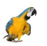 8个ara ararauna蓝色金刚鹦鹉月染黄年轻人 库存图片