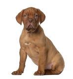 8个bordeaux de dogue老小狗坐的星期 免版税库存图片