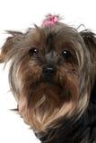 8几年约克夏的接近的老狗 免版税库存照片