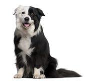 8博德牧羊犬半老坐的年 免版税图库摄影