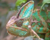 8变色蜥蜴 免版税库存照片