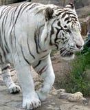8只老虎白色 免版税库存照片