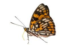 8只蝴蝶dichroa sephisa 图库摄影