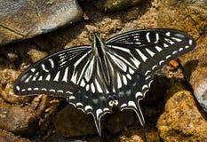 8只蝴蝶papilio xuthus 免版税库存图片