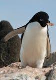 8只阿德力企鹅企鹅 图库摄影