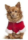 8奇瓦瓦狗老成套装备圣诞老人佩带的& 免版税库存照片