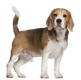 8小猎犬老常设年 免版税图库摄影