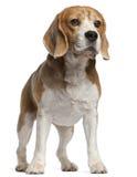 8小猎犬老常设年 库存图片