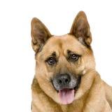 8德国牧羊犬年 免版税库存照片