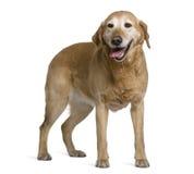 8拉布拉多老猎犬常设年 库存图片