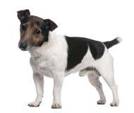 8插孔老罗素常设狗年 免版税库存照片