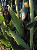 8月玉米1202 免版税库存照片