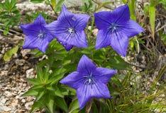 8朵蓝色花grandiflorus platycodon 库存图片
