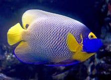 8条神仙鱼blueface 库存照片