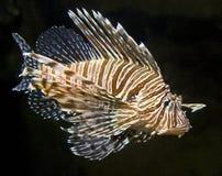 8条鱼狮子 免版税库存图片