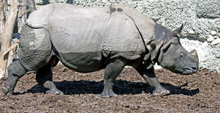 8极大的印第安犀牛 免版税库存照片