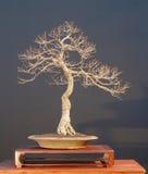 8棵盆景结构树 免版税库存图片