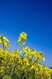 8油油菜籽 图库摄影