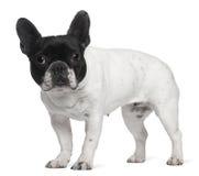 8牛头犬法国老常设年 库存图片