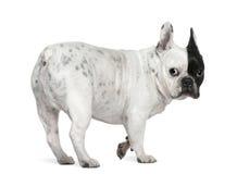 8牛头犬法国老年 免版税库存照片
