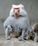 8狒狒 图库摄影