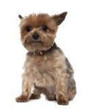 8老坐的狗年约克夏 免版税库存照片